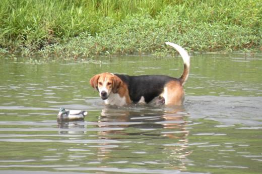 A Sinhala Hound dog.