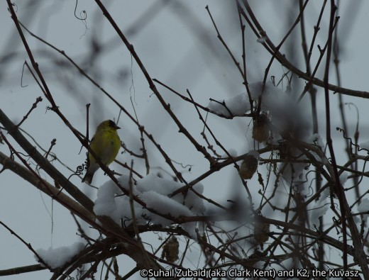 The striking gold and green plumage of this tiny bird - American Goldfinch - dulls in winters, but the birds stick around in flocks.