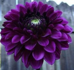 All Types of Gorgeous Dahlias that are irresistible for a Garden