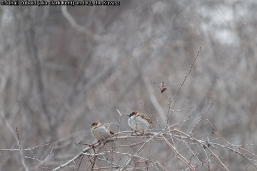 House sparrows - considered pests by most of us - thrive in our winters.
