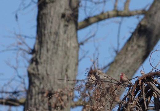 House finches (1 male and 2 camouflaged females). I was totally confused as to their identity in -29C. I had to seek help of birding community to identify them for me.