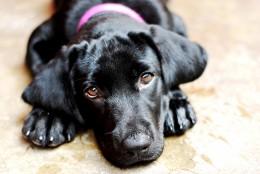 3-month-old black labrador.