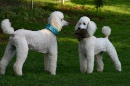 White poodles.