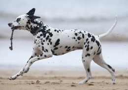 Dalmatian on the beach.