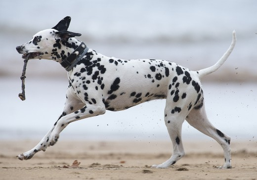 Dalmatian on the beach.