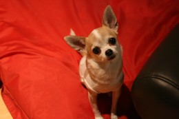 Chihuahua head tilt.