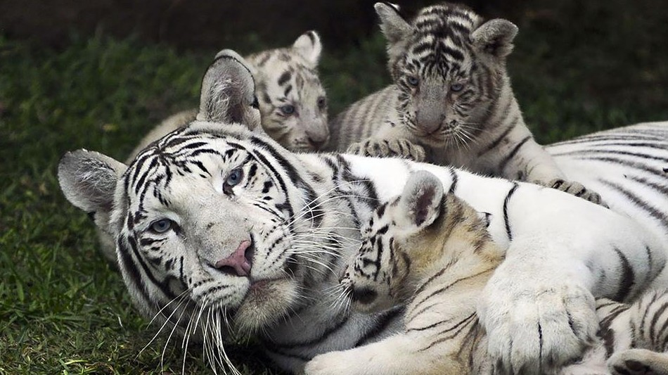 Suzys Animals Of The World Blog The Siberian Tiger White