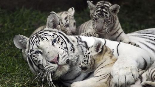 Bengal Tiger - Endangered Wildlife