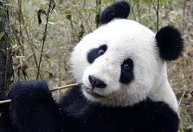 Giant Panda: Endagered