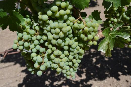 Pine Ridge Vineyard grapes