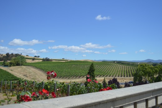 Vineyards around Domaine Carneros