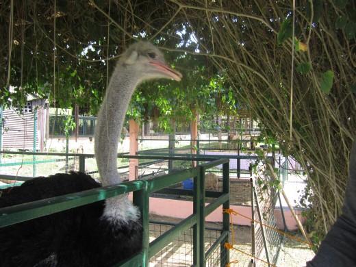 Ostrich with  gentle beak