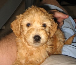 "Perez Hilton's ""mini-goldendoodle"" as a pup."