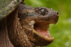 Close-up of a dangerous snapping turtle.