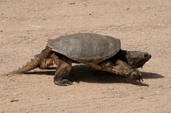 Snapping Turtle crawling on a beach.