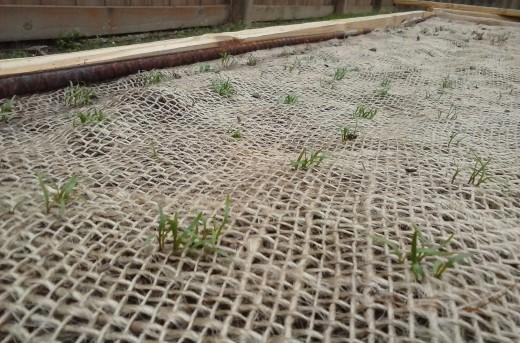 Carrot seedlings emerging through the burlap