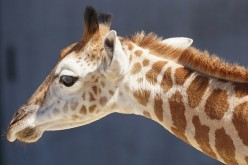 West African or Niger Giraffe