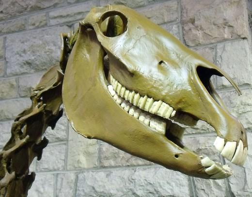 A horse skull