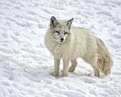 The Beautiful Arctic Fox