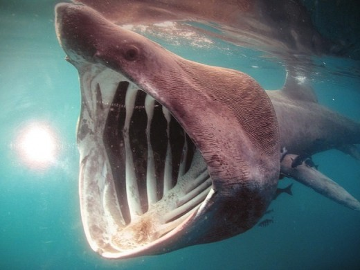 Great White Shark Eggs Hatching