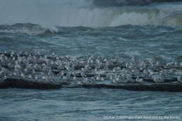 Herring seagulls and ring-billed gulls on an island near Horseshoe Fall (Niagara Falls) in December.