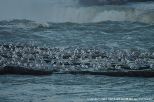 Herring seagulls and ring-billed gulls on an island near Horseshoe Fall (Niagara Falls) in December.