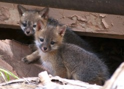 The Smart Gray Fox
