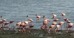 African Flamingo