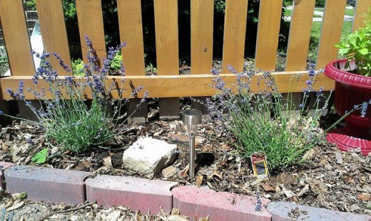 Small Lavender plants incorporated into a planting bed-these will get larger every year.