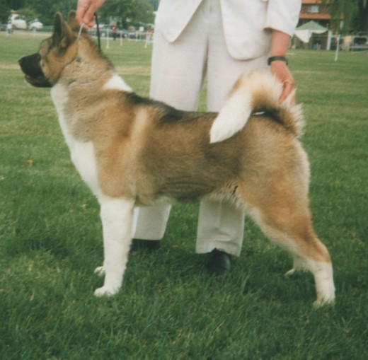A female Akita. These dogs make great guard dogs, but are not ideal for families with young children.
