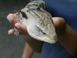 Blue-tongued skink during an animal encounter at Zoo Atlanta.