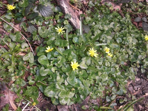 Even in February these Celendines brighten the woodland floor.