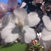 CherryBlossomTree profile image
