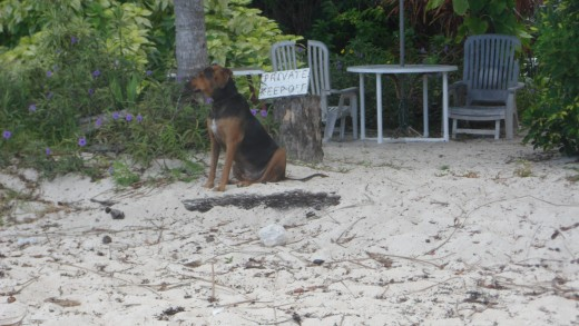 Dog on a Beach in Barbados