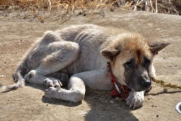 Abused Chained Dog in Barbados