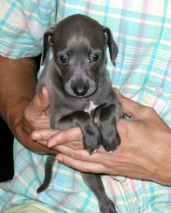 Is An Italian Greyhound The Right Dog For You?
