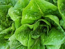 Romaine lettuce by Lawrence Farmer's Market
