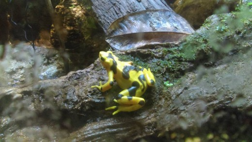 The Panamanian golden frog, a native of a Panama, is currently considered to be extinct in the wild thanks to this devastating disease. The last time one of these frogs was spotted in the wild was 2009.