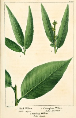Salix Nigra & Lucida; Plate from The North American Sylva, by Andrew Michaux, 1819
