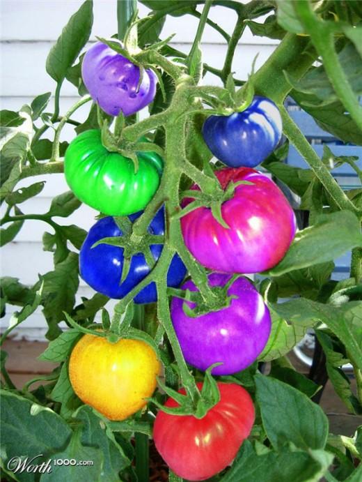 Rainbow Tomatoes, Color, Tomato,