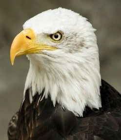 The American Bald Eagle and DDT