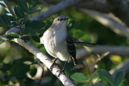 Northern Mockingbird in Loxahatchee Natinal Wildlife refuge, Florida.