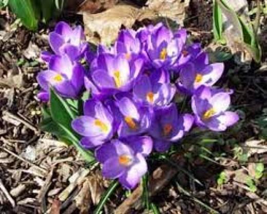 Crocus in the yard