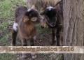 Lambing Season 2016