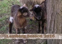 * Lambing Season 2016