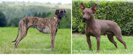 "North African hound ""sloughi"" and ""American Hairless Terrier""."