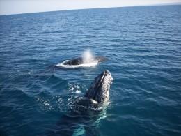 Humpback Whales, Exmouth, WA