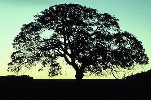 A CA Oak, Rightside Up