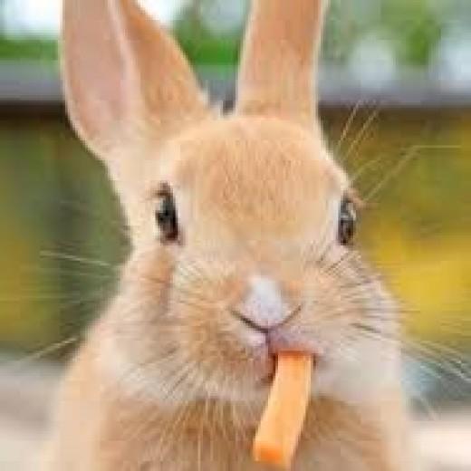 Joe cool Bunny