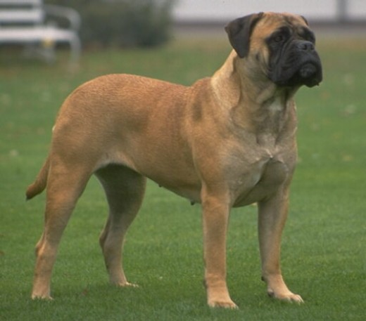 Not my Bullmastiff.  He was much more cute than this one. I was too tired to find a pic.